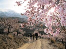 Almond blossoms in Abrucena, Sierra Nevada