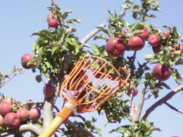 A fruit picker makes it easy to reach the high ones.