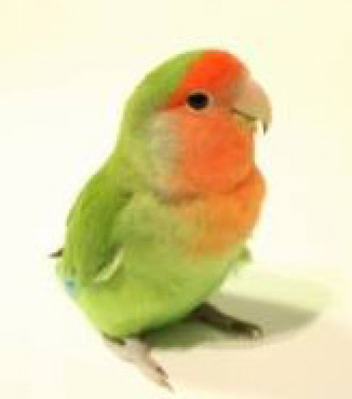 Pinky Joe, peach-faced lovebird extraordinaire