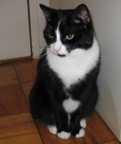 Tao, tuxedo cat, mighty hunter