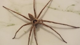 A couple of days ago this huge spider appeared on the wall of my bathroom
