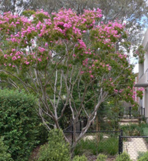 The old crepe myrtle in the backyard