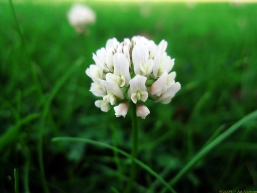The most delicate of clover.