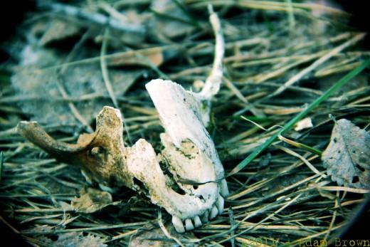 A jawbone found in Minnesota, near Faribault.