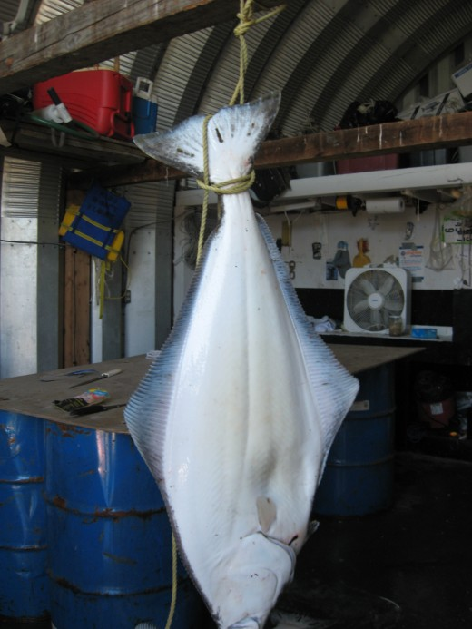 Approximately 85 lbs. fresh caught halibut