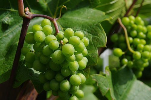 Domestic, organic grapes are available in many groceries and farmers markets around the country.