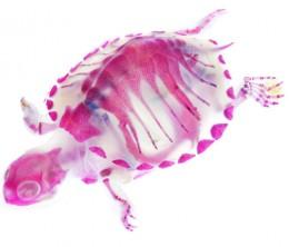 Testudinidae sp. (Rikugame) by Iori Tomita