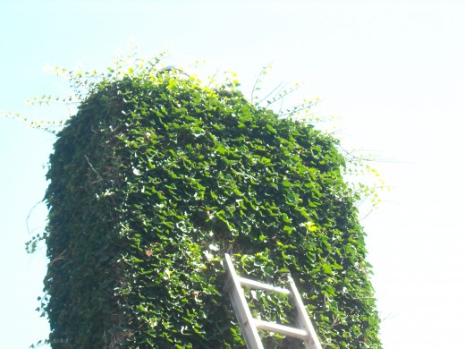 Ivy has taken over this chimney causing major damage to the chimney cap, the chimney flashing, the roof, and the siding of this house.