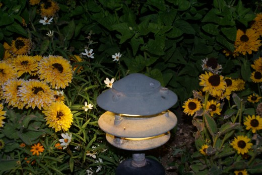 Marigolds at night