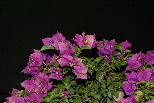 Fuchsia flowers at night