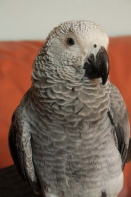 An African Gray - About six months old if you look closely you can see the blue around its pupil.