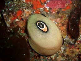 Chemicals from the Keyhole Limpet are being tested in the treatment of cancer.