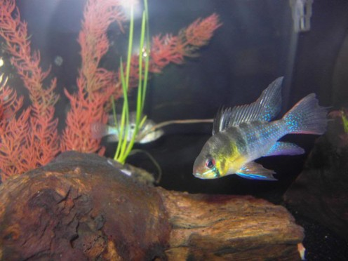 My German Blue Ram, one of the most colorful freshwater fish.
