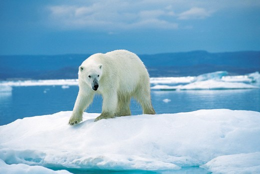Polar bear, Nunavut, Canada, 1996.  Image courtesy Ansgar Walk and Wikimedia Commons.