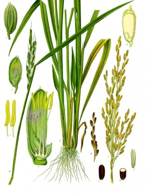 Oryza Sativa Japonica.  Varietals of this temperate climate-adapted rice are now being cultivated in Vermont.  Painting by Franz Eugene Koehler, courtesy Wikimedia Commons.