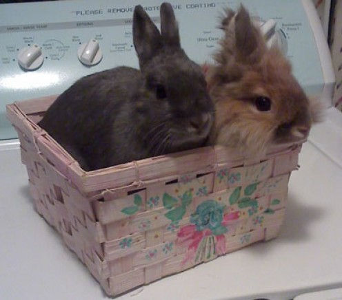 Twice as nice:  Most rabbits love living with a rabbit companion, but bonding should only be attempted if both rabbits involved have been fixed.