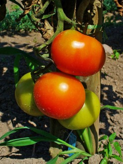 Tomatoes for Health, Nutrition and Flavor
