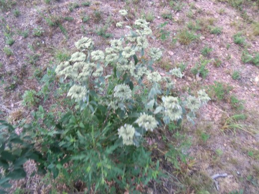 Wild mint that volunteered in my yard