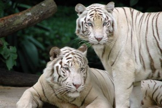 White Tigers at Singapore Zoo