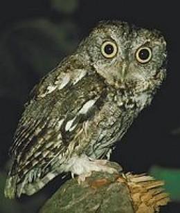 Florida Screech Owl