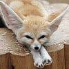 Fennec Foxes - Facts, Photos, Videos and Exotic Pets