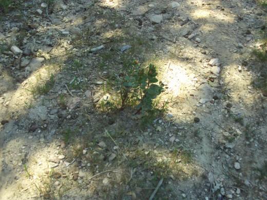A small manzanita tree.