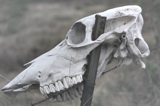 Cow Skull on Post in Texas