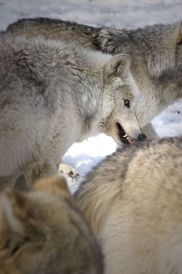 A pack of gray wolves consist mostly of siblings and offspring.