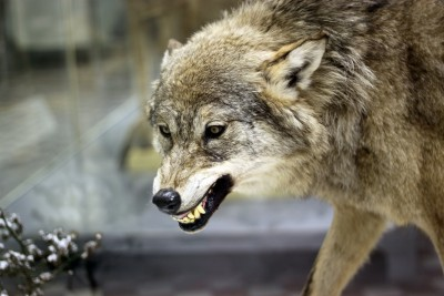 A pack of gray wolves are are generally very amiable towards one another... except during mating season.