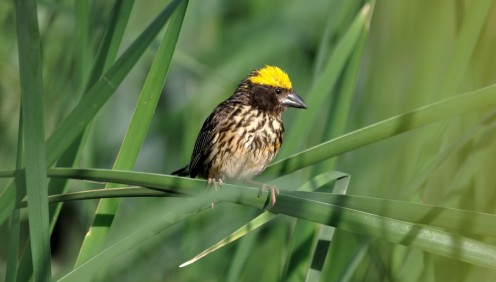 I peered curiously at him and he peered curiously at me...... ( This is the Streaked Weaver)