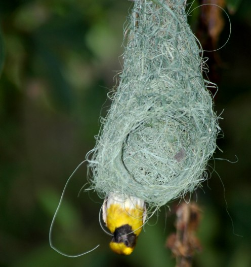 The dexterous Baya Weaver at work