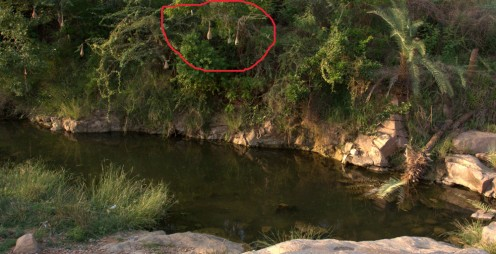 A few nests overhanging a pond