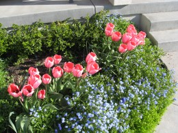 Pink Sensation Tulips and Forget-me-nots