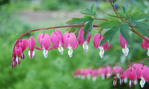 Horizontal Branches of the Bleeding Heart