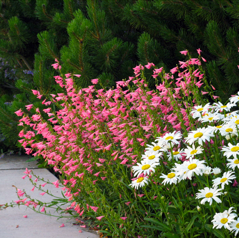Pink Penstemon and Daisies