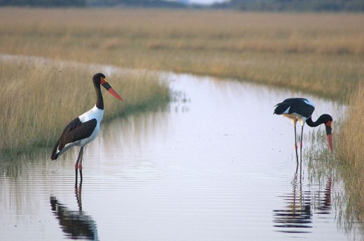 Saddle Billed Storks In the Okavango