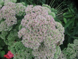 Autumn sedum with more pink showing daily