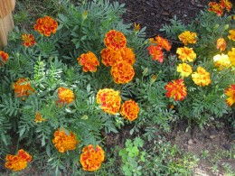 Marigolds love the cool nights