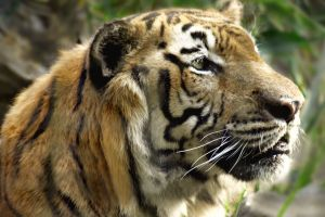 A Siberian Tiger by Rodolfo Clix.