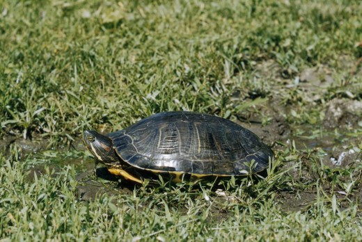 A painted turtle makes its way across a field