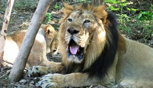 Asiatic lions (from : wildlifeextra.com)