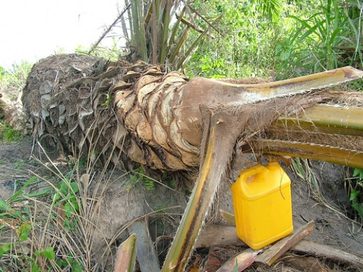 Collecting Palmwine from Felled Palm Tree. Short Palm Trees are Felled to produce more Palm Wine within a short period of time.