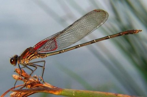 The American Rubyspot is a damselfly that is found in a large part of North America.