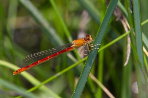 The Western Red Damsel is a damselfly found in the western U.S. and Canada.