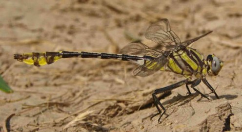 The Tamaulipan Clubtail is a rare dragonfly so far only seen in the Rio Grande Valley of Texas and northern Mexico.