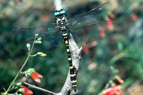 The beautiful Apache Spiketail is found in the southwestern United States and extending down into Central America.