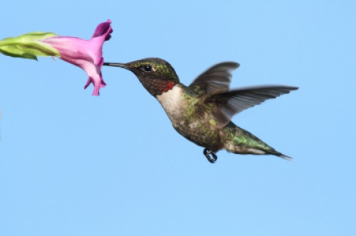Male Ruby Throated Hummingbird