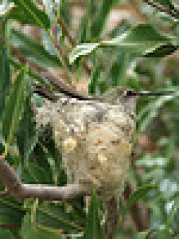 Hummingbird on Nest