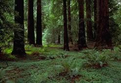 The Coast Redwoods