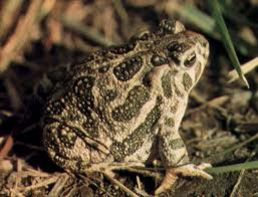 Don't touch a toad or you'll get warts.